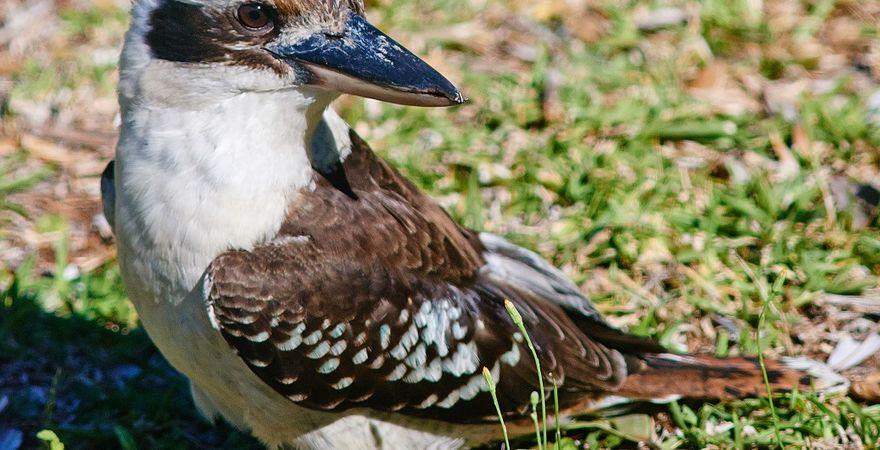Kookaburras @ Smiths
